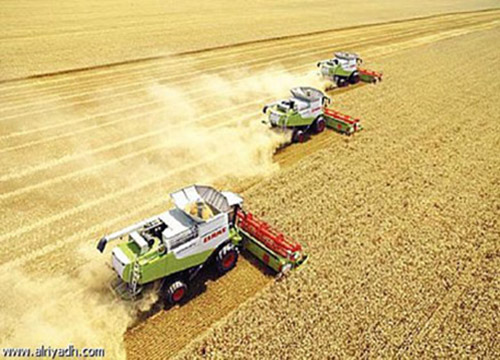 موسم حصيد القمح