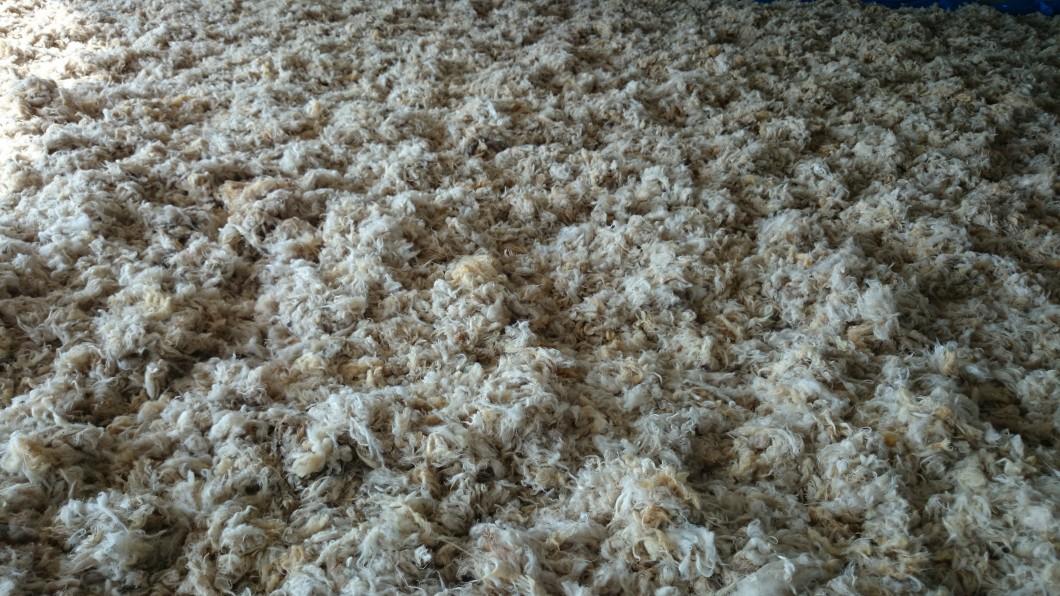 فرز الصوف الابيض من الملون يدويا بعد الغسيل